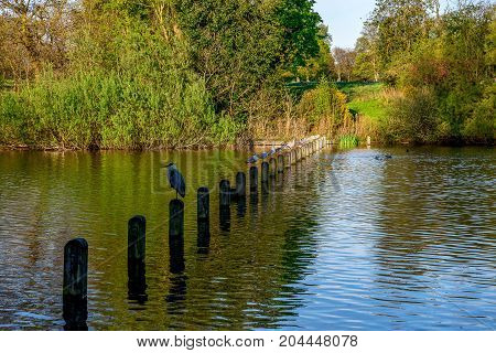 Birds sitting on wooden posts in Long Water (Serpentine) between Hyde Park and Kensington Gardens in London Great Britain