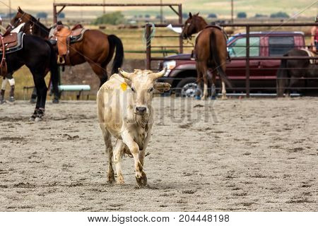 Steer In A Rodeo Arena At A Roping Event