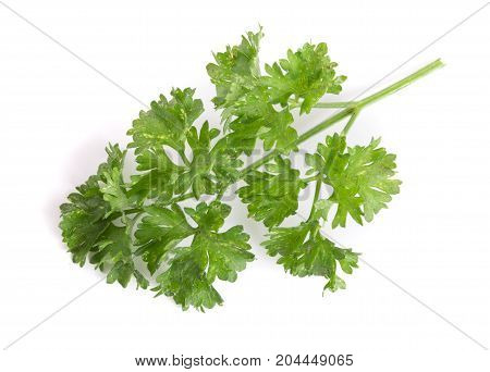 Curly parsley isolated on a white background.