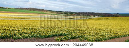 Blooming Daffodil Field In Spring Near Aberdeen In North East Scotland