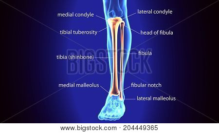 3D Illustration of Human Skeleton Tibia and Fibula Bones