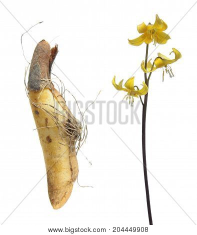 Bulb and yellow flower of fawn lily or Erythronium isolated on white background