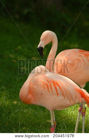 Two brightly colored flamingos appear to be relaxing on a warm afternoon.