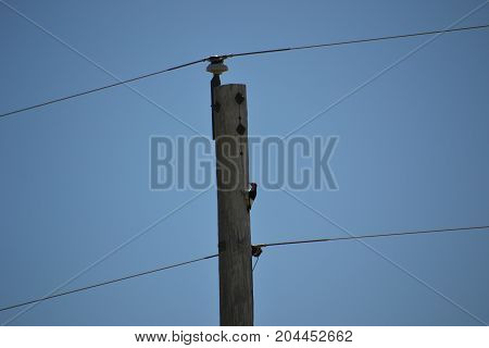 red bellied woodpecker on a telephone pole