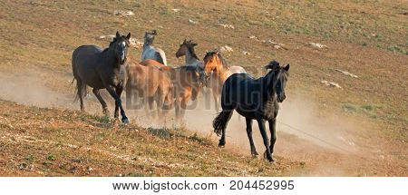 Wild Horses / Mustang Stallions running and  fighting in the Pryor Mountains Wild Horse Range on the state border of Wyoming and Montana United States