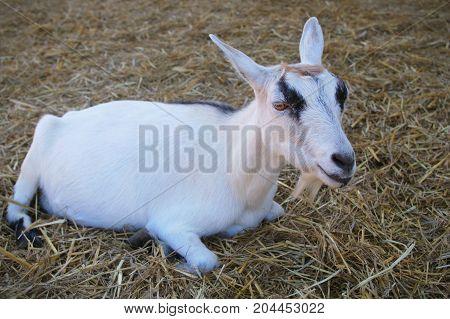 young goat livestock mammal farm straw resting animal