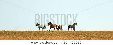 Wild Horses - Stallions fighting and running and kicking up dust on Sykes ridge in the Pryor Mountains on the border of Montana and Wyoming United States