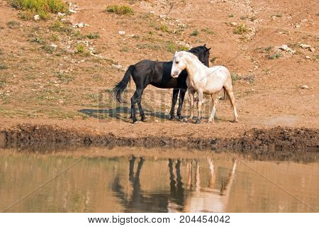Wild Horses / Mustangs Facing Off Before Fighting In The Pryor Mountains Wild Horse Range On The Sta