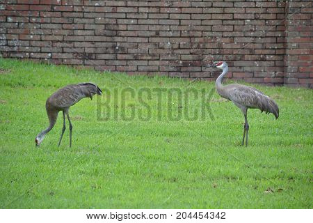 sandhill cranes are large  semi aggressive wading birds