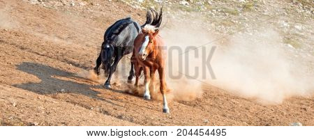Wild Horses / Mustangs Fighting In The Pryor Mountains Wild Horse Range On The State Border Of Wyomi