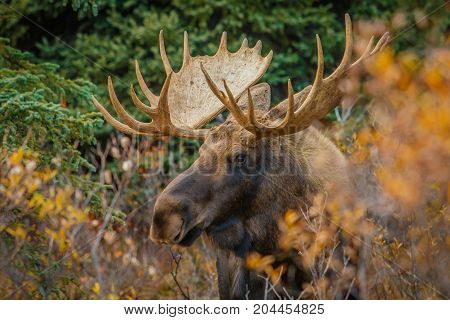 A big moose bull during mating season