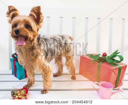 Small cute funny Yorkshire Terrier puppy dog in a Christmas in white wood table.