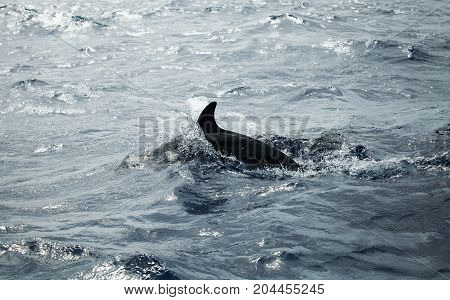Common Dolphins Back, Atlantic Ocean