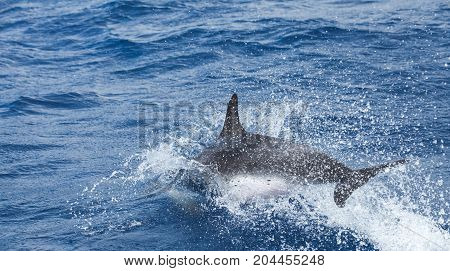 Jumping Common Dolphins Tail