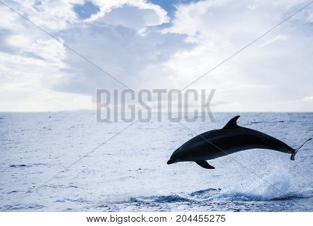 Common Dolphin Jumping Off, Atlantic Ocean