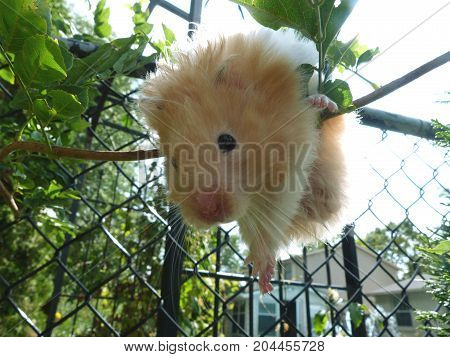 Cream-colored pet hamster climbing a bush branch