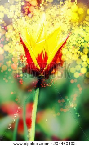 Single red-yellow tulip in the spring garden. Shimmering background. Natural theme.
