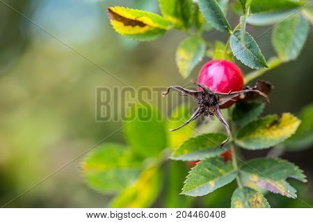 Rose hip. Rose hip in the autumn colours and lights
