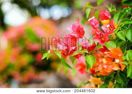 The beautiful Bougainvillea Flowers blooming in the garden for background or texture.
