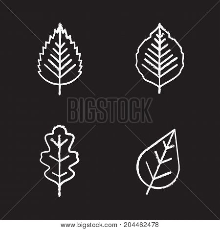 Leaves chalk icons set. Poplar, birch, oak leaves. Isolated vector chalkboard illustrations