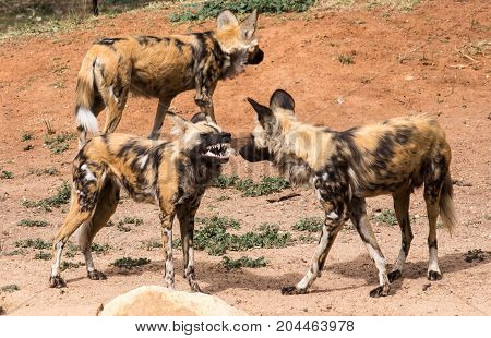 African Wild Dogs growling showing teeth in group of three standing on red dirt