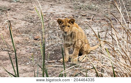 Young African lion cub sitting behind grass reeds