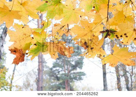Colorful autumn leaves close-up. Autumn leaves sways in wind.
