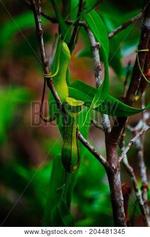 Carnivorous pitcher plant. Nepenthes albomarginata in the rain forest at Bako National Park. Sarawak. Borneo. Malaysia