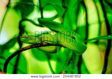 Iimage of Wagler's Pit Viper Snake - Tropidolaemus wagleri on the branch of a magrove in tropical rainforest of Sabbah Borneo Malaysia