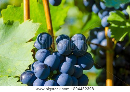 Close-up photo of a blue grape vine in a vineyard between green leaves in autumn