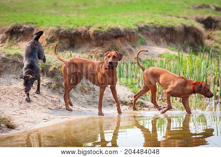 Three purebred dogs walking on the bank of a pond.