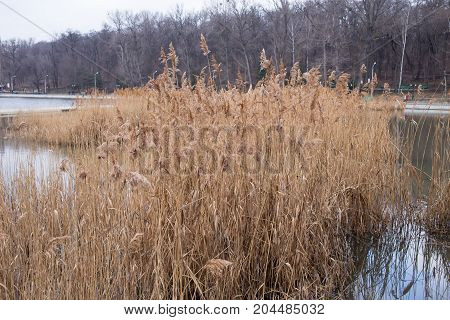 Reeds in the lake. Photo can be used as a whole background.