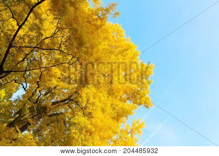 Vibrant fall yellow golden tree lush on pale blue sky background