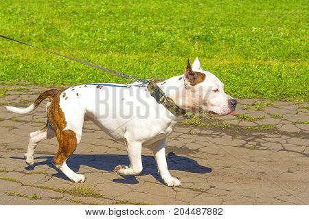 Bull Terrier dog, background of green blurred grass. Space under the text. 2018 year of the dog in the eastern calendar Concept: parodist dogs, dog friend of man, true friends, rescuers.