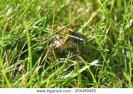 green common frog sitting on green grass in a garden in England