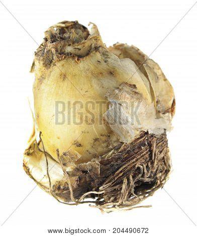 Bulb of Portuguese squill (Scilla peruviana) isolated on white background