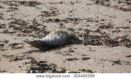 Grey Seal (Halichoerus grypus) pup sunbathing on beach in northern UK.