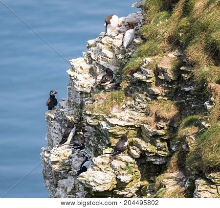 Nesting seabirds on a cliff in coastal Northern UK