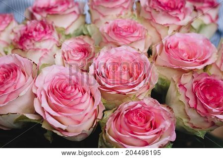 beautiful pink roses bouquet, buds close up