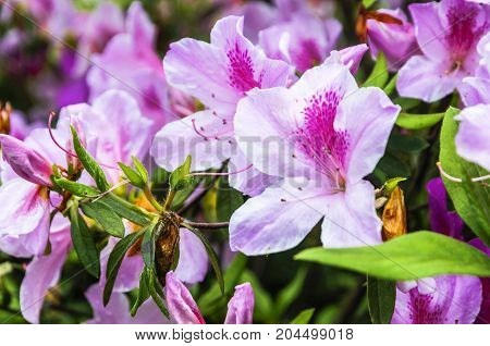The beautiful blossoming azalea flowers in spring