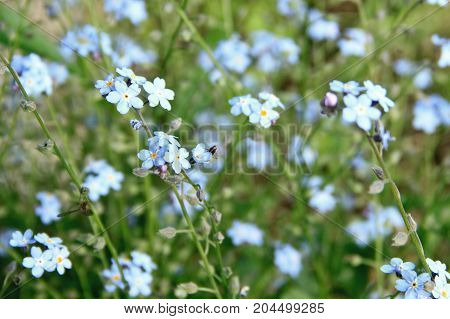 Gentle forget me nots at the sunny day