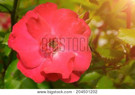 Rose flower in the garden, closeup. Shallow DOF. Flower background with pink rose flower. Summer rose flower in the garden. Pink rose flower lit by sunshine. Rose flower closeup
