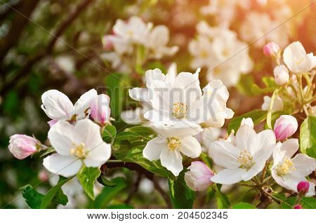 Spring apple flowers in spring blossom lit by soft spring sunlight. Spring floral background. Spring apple tree branch in the spring sunny garden. Selective focus at the central spring flower