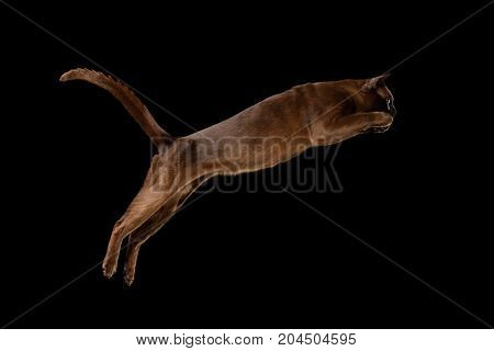 Playful Sable Burmese Cat Jumping isolated black background