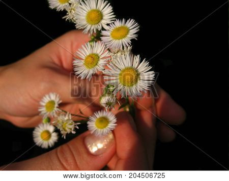 Isolated object on a black background. hands holding small white flowers
