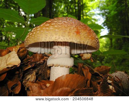 mushroom in the woods among the leaves . Close-up