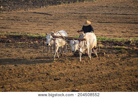A farmer plows with a cow near U-Bein bridge in Taungthaman Lake Mandalay Myanmar