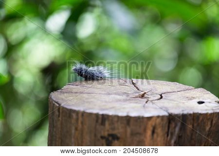Close up of numerous large black hairy caterpillars worms or butterfly's worms climbing on a timber with soft focus background in the forest.;