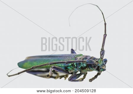 beetle pest insect, resident wildlife with a big mustache on white background closeup