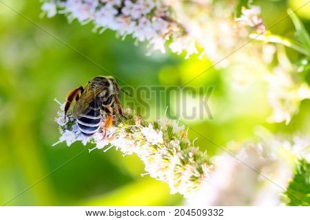 wild bee eats fresh nectar from a flower peppermint